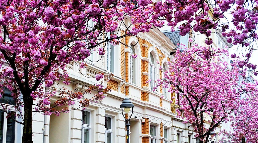 Kirschblütenzeit in Bonn