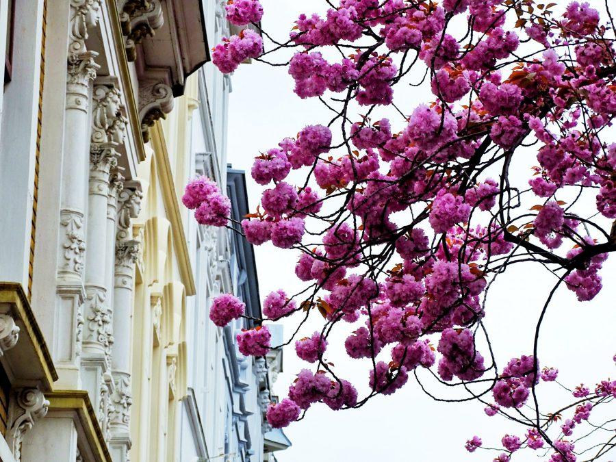 Wann blüht die Kirschblüte